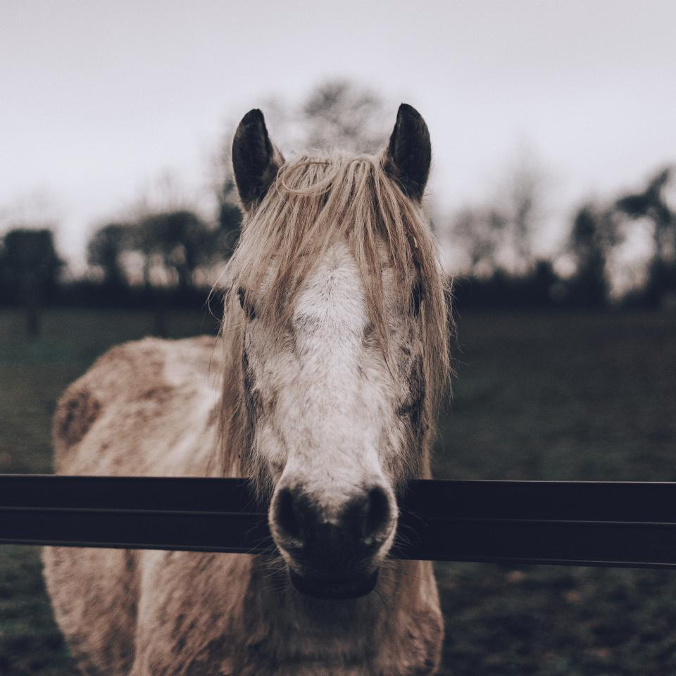 Horse Portrait in a field